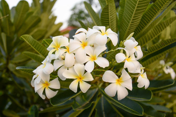 White Plumeria Bouquet