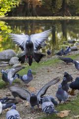 pigeon on lake