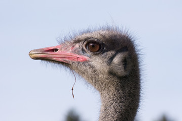 Vogel Strauß in Afrika