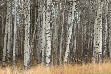 White birch trees in autumn