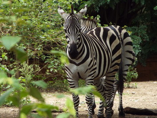 A beautiful picture of a zebra