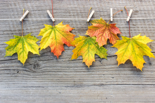 maple leaves / Maple leaves with clothespins on a wooden surface
