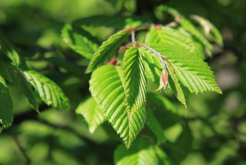 Leaves of elm tree in the spring