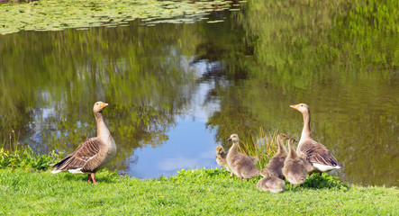 Geese and Their Goslings Out for a Stroll