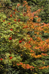 Fall foliage and red mountain ash berries in northern Maine.
