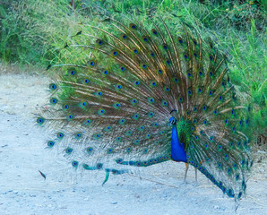 peacock attracts females