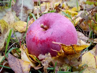 Red apple in leaves