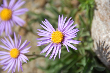 Purple daisy (Dimorphotheca) flower