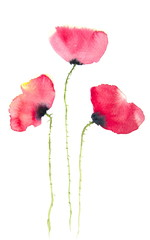 Modern art of poppy painting, watercolor illustrator