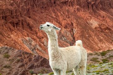 White lama in front of colorful rock formations near Purmamarca village (Quebrada de Humahuaca valley), Argentina