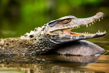Wild Caiman Crocodilus