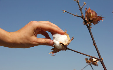 human hand touches a boll of ripe cotton