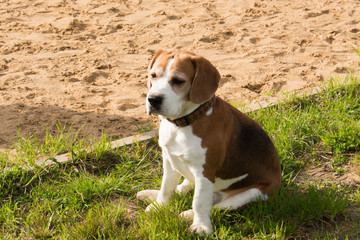 Beagle  relaxing after fun games.