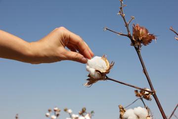 human hand harvest ripe cotton