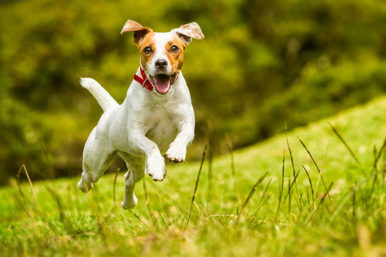 dog happy run russel jack jump pet cute terrier play summer joyful hound racing to the camera mid angle high speed shot dog happy run russel jack jump pet cute terrier play summer hound smiling lovel