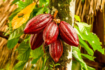Ripped Cocoa Fruit Hanging From The Tree