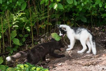 Silver Fox and Marble Fox (Vulpes vulpes) Play at Densite