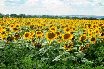 View of a sunflower field