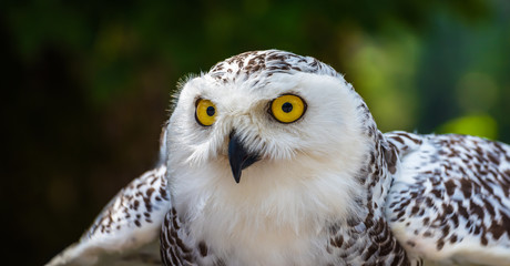 Detail of Head of Snowy Owl with Yellow Eyes - Bubo Scandiacus with Blurred Dark Green Background Ready to Fly