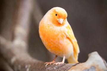 Serinus Canaria Bird