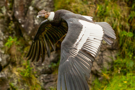 condor andean gryphus vultur ecuador flight the andean condor is a massive black raptor with a ruff of white feathers surrounding the basement of the spine and especially in the masculine large white
