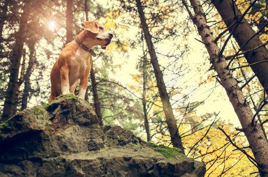 Beagle portrait in autumn forest