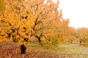 Cherry trees full of yellow leaves