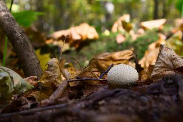 mushroom Lycoperdon in the forest