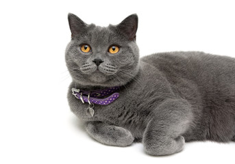 cat with yellow eyes in purple collar on a white background
