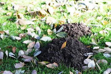Im Park - Maulwurfshaufen auf einer Wiese im Herbst mit buntem Laub