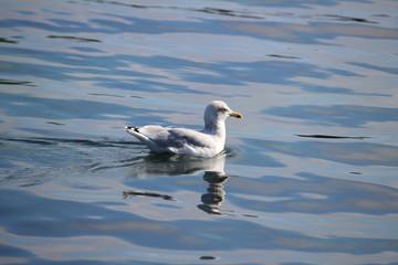 Fotoväggar - Möwe im Wasser