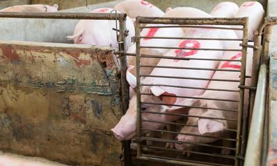 piglet at a farm
