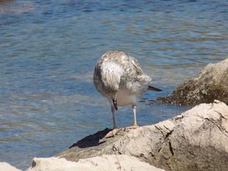 Gray seagull on rock