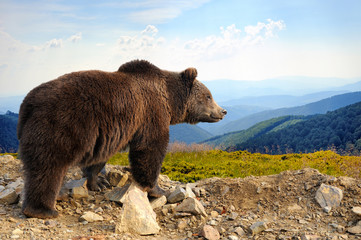 Wall Mural - Brown bear