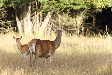 red deer hind with young