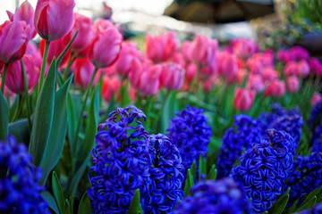 Tulips and hyacinths on nature background