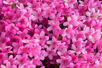 Beautiful rhododendron flowers background