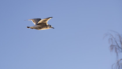 Young Seagull Flying