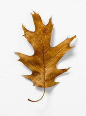 Oak Leaf on White Background