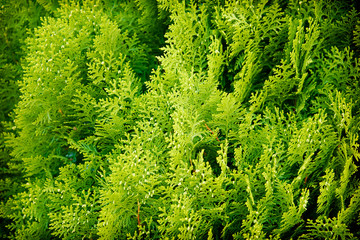 The leaves of arborvitae branches
