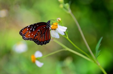 VICEROY BUTTERFLY! A visit to the everglades in Florida produced shots of various butterflies, here the Viceroy on a flower drinking nectar
