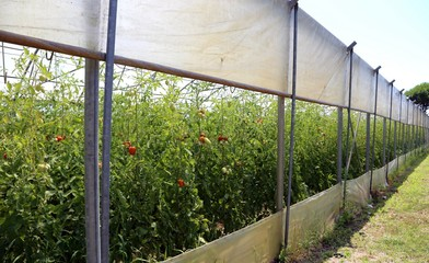 tomatoes grown in a greenhouse at a controlled temperature
