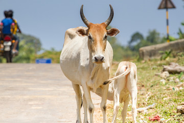 Calf drinking milk from acow. Cow a sacred animal in India