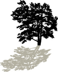 single large black pine silhouette with shadow
