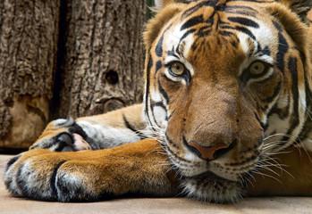lying tiger looks ahead