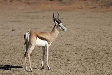 Springbok, Antidorcas marsupialis, Kalahari, South Africa