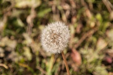 Taraxacum, dandelion