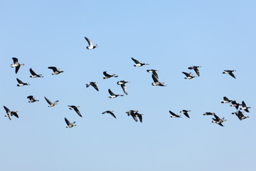 Flock of wild Barnacle and Greylag Geese flying