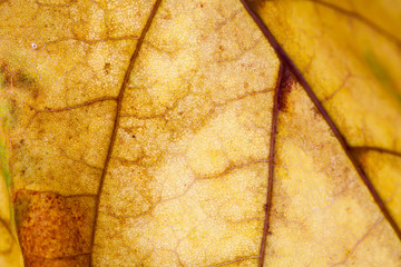 Textures and detailes autumn maple leaf. macro view