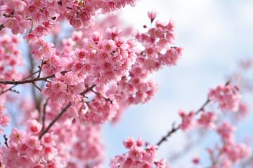 Closeup of Wild Himalayan Cherry (Prunus cerasoides) at Khun Mae